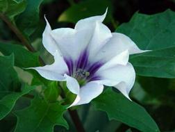 Дурман обыкновенный (Datura stramonium)