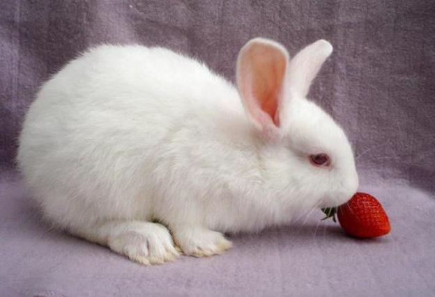 Кролики любят ягоды, но во время еды сильно пачкают мордочку соком