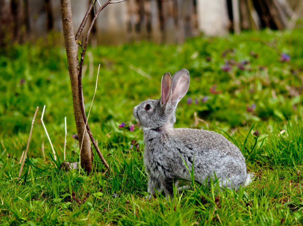 Кролики с удовольствием поедают не только сено, но и ветки кустарников и деревьев