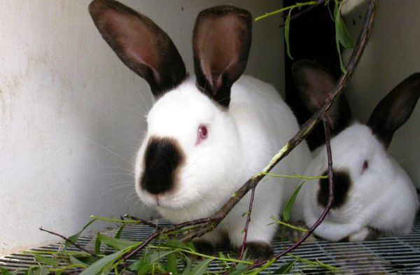 Кроликам дают как свежие, так и хорошо подсушенные ветки