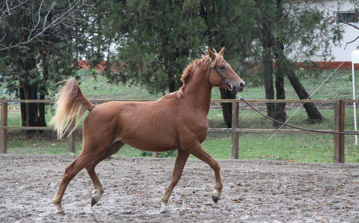 Разведение арабской лошади популярно в России