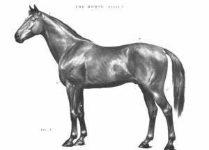 Рисунок племенной особи из официального каталога