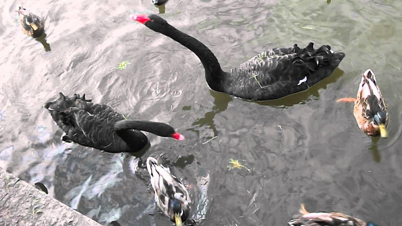 Черные лебеди спокойно уживаются с утками