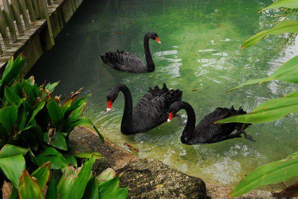Черные лебеди в искусственном водоеме