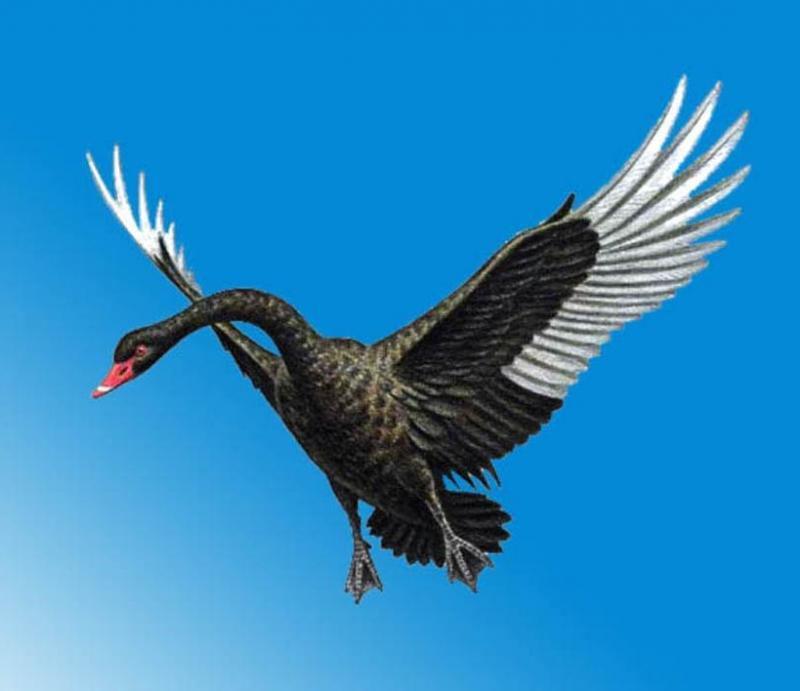 Размах крыльев черного лебедя