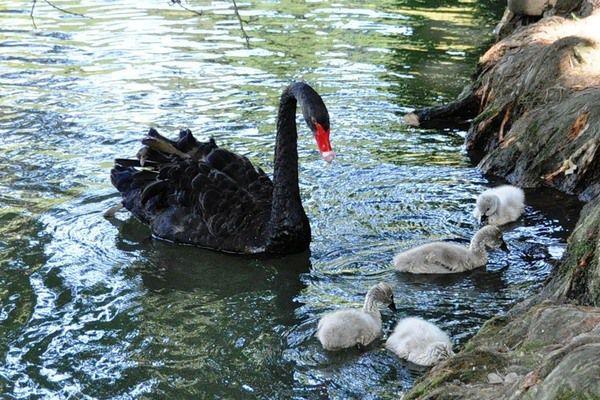 Лебедь учит малышей плавать