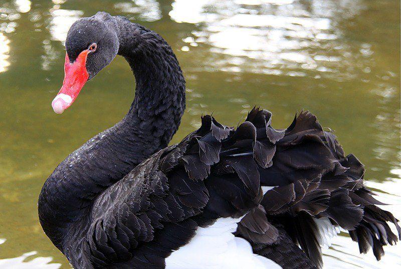 Кудри на крыльях черного лебедя