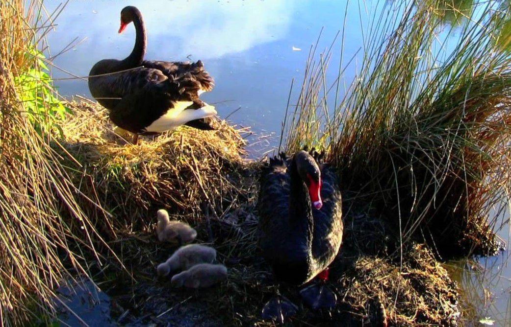 Семейство черных лебедей на берегу водоема