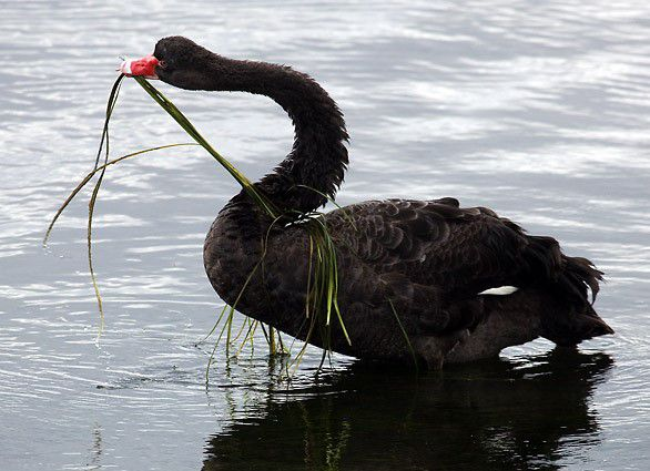 Черный лебедь ест водоросли