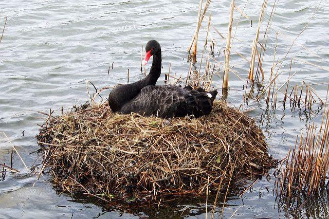 Лебедь сидит на гнезде