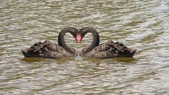 Черные лебеди - однолюбы