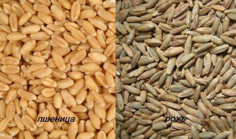 Рожь и пшеницу не рекомендуется давать в необработанном виде
