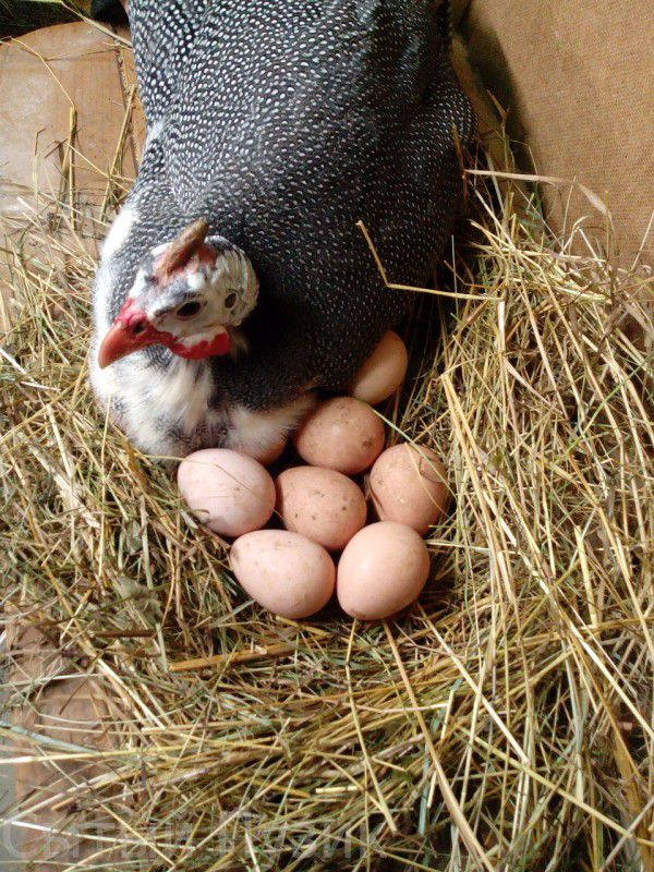 Самка цесарки на яйцах