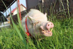 Зубы у свиней крепкие и прочные