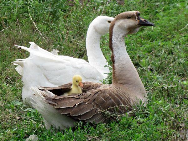 Семья гусей