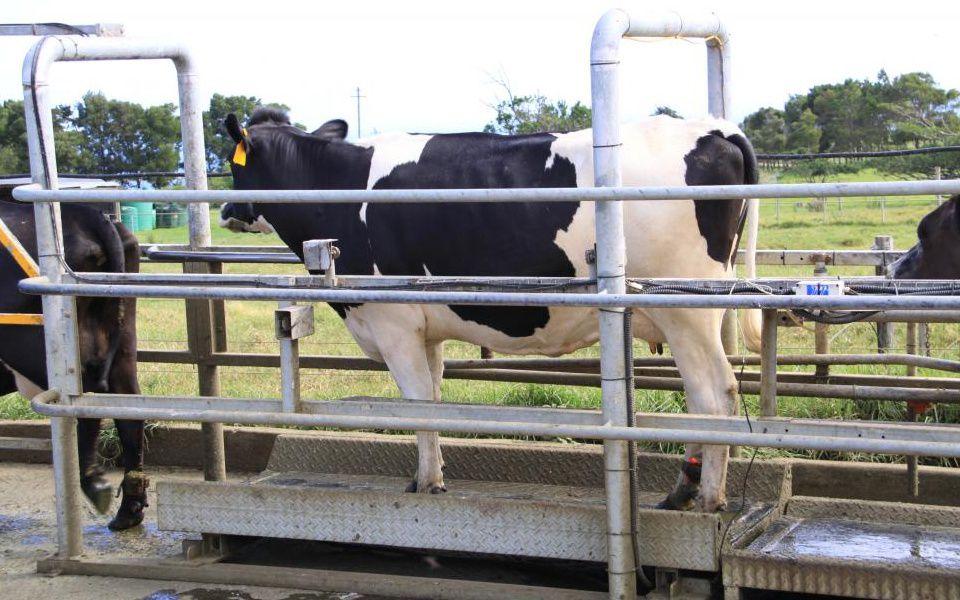 Система взвешивания коров