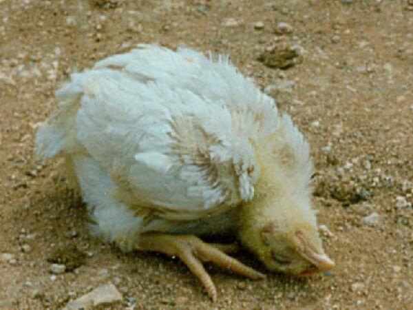 Скручивание шеи больной птицы
