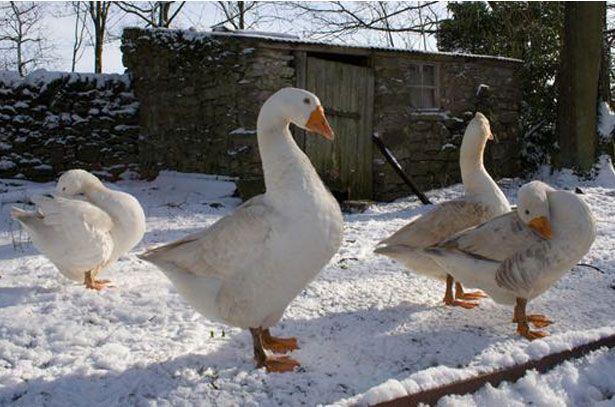 Содержание гусей зимой (зимняя прогулка)