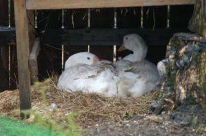 Содержание гусей летом под навесом