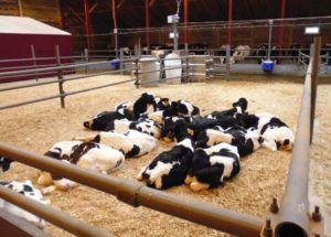 Содержание коров на глубокой подстилке