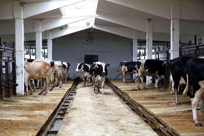 Содержание коров
