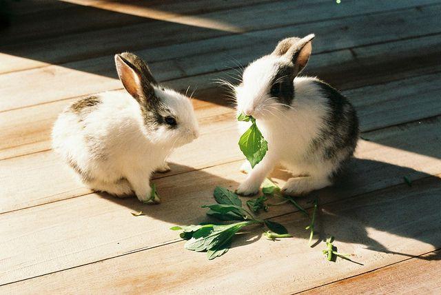 Содержащиеся в зеленых кормах вещества благотворно влияют на мех кролика
