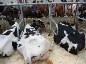 Стельные коровы