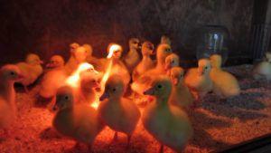 Суточные гусята под брудером