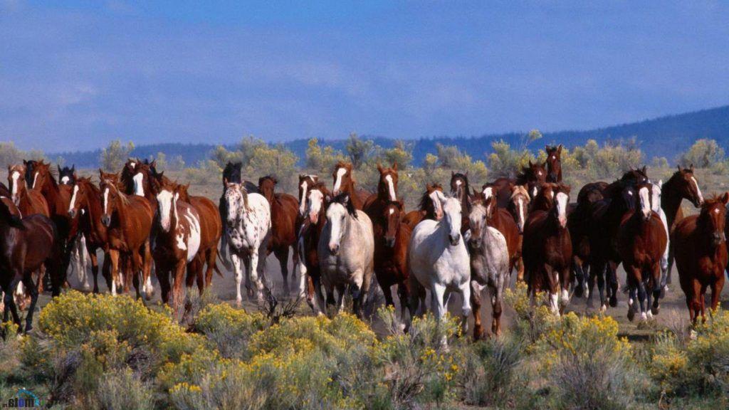 Табунное содержание - продолжение исторически сложившихся условий жизни лошадей