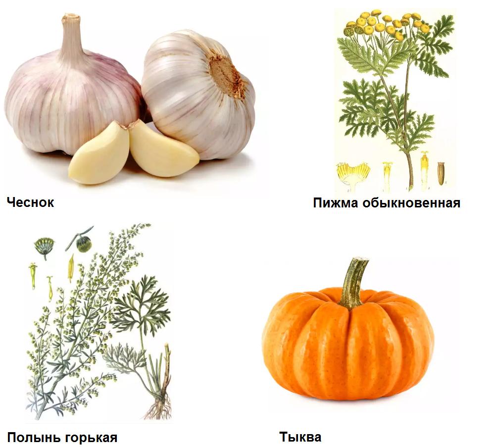 Травы и овощи с глистогонным эффектом