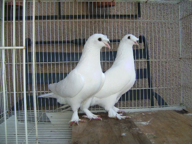 Турецкие голуби такла белые