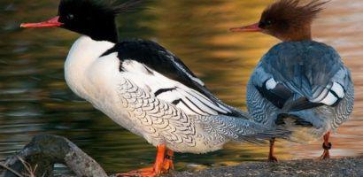 Утка и селезень на суше