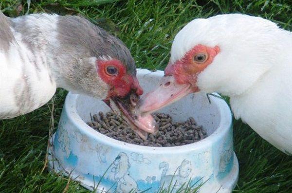 Утки едят комбикорм