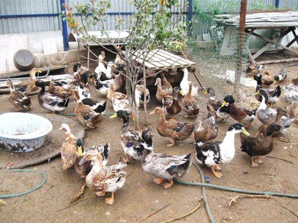 Утки на частной ферме