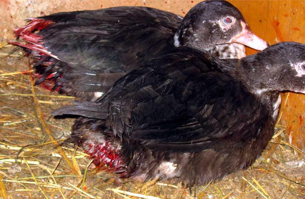 Утки, страдающие от выщипывания оперения