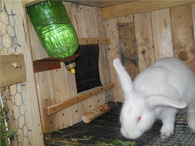 У беременной крольчихи всегда должен быть доступ к питьевой воде