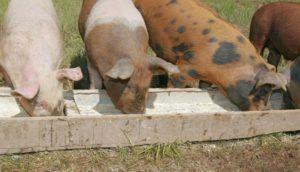 У больных свиней плохой аппетит