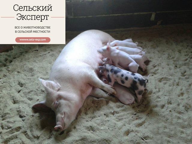 Ферментационная подстилка для свиней