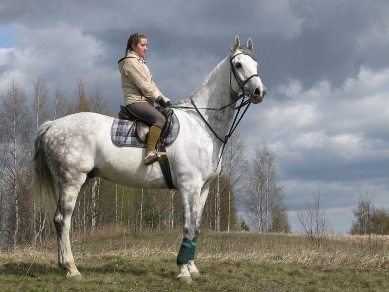 Фото голландской теплокровной лошади