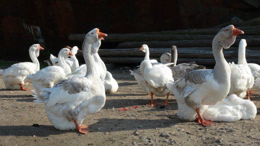 Фото холмогорских гусей