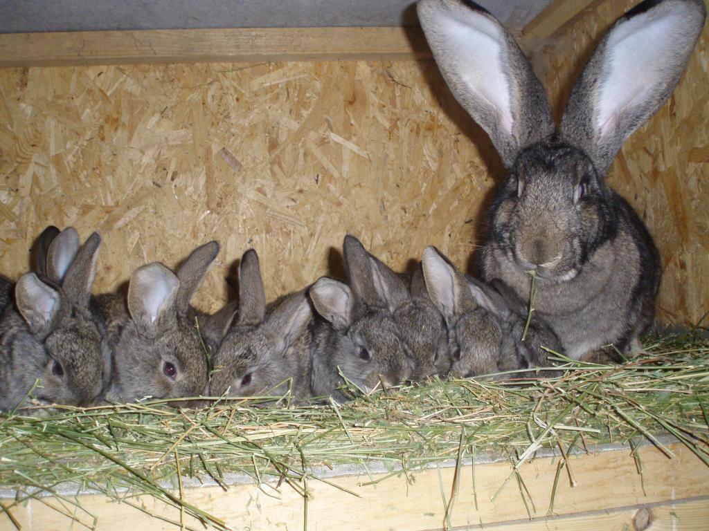 Пригодная к разведению крольчиха не съедает приплод