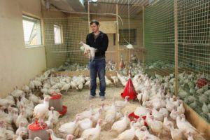 Выращивание индюков в условиях фермы