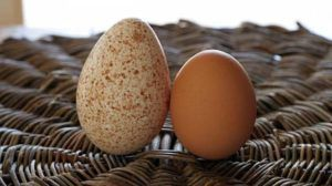 Индюшиное яйцо в сравнении с куриным