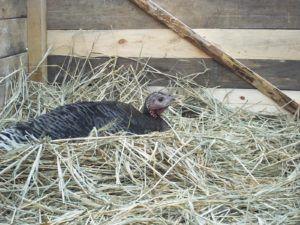 Обустройство гнезда для индейки