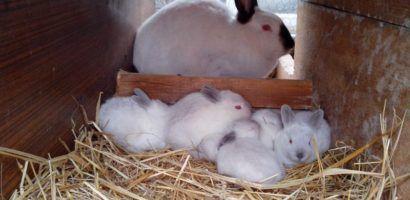 Количество детенышей в последе крольчихи