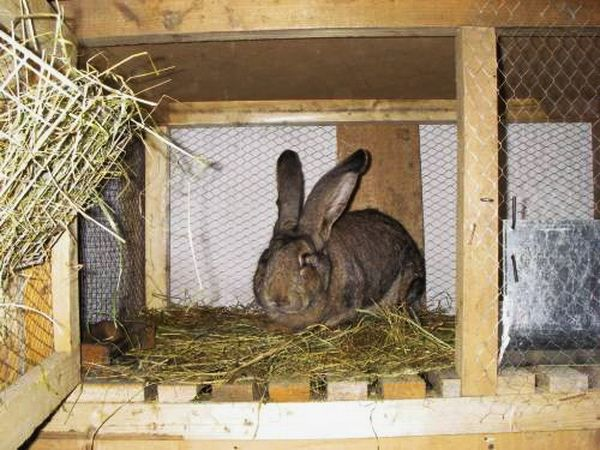 Ложную беременность крольчихи определяют по поведению