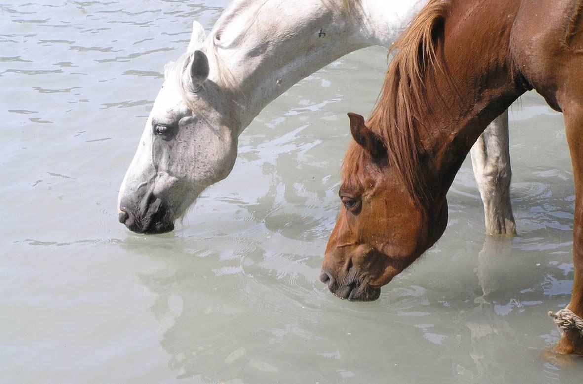Арабские лошади на водопое