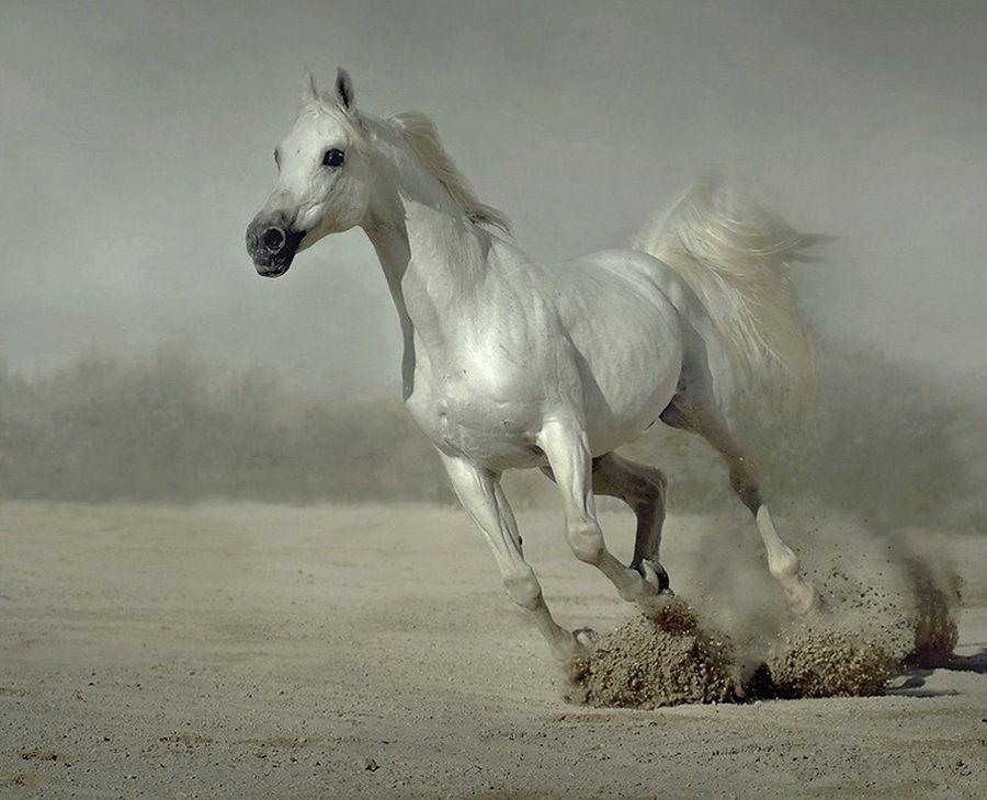 Хвост арабской лошади при галопе держится вертикально