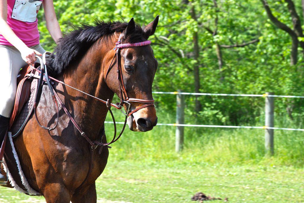 Чистовая верховая выведена путем скрещивания лучших пород лошадей