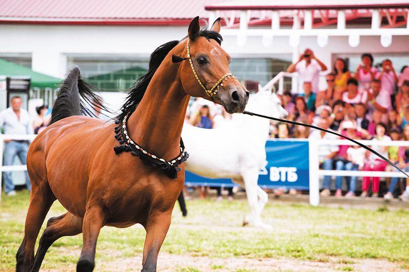 Праздник арабской лошади на Терском заводе